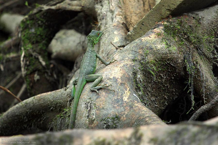Зеленый василиск
