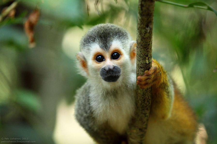 Саймири, или беличья обезьяна
