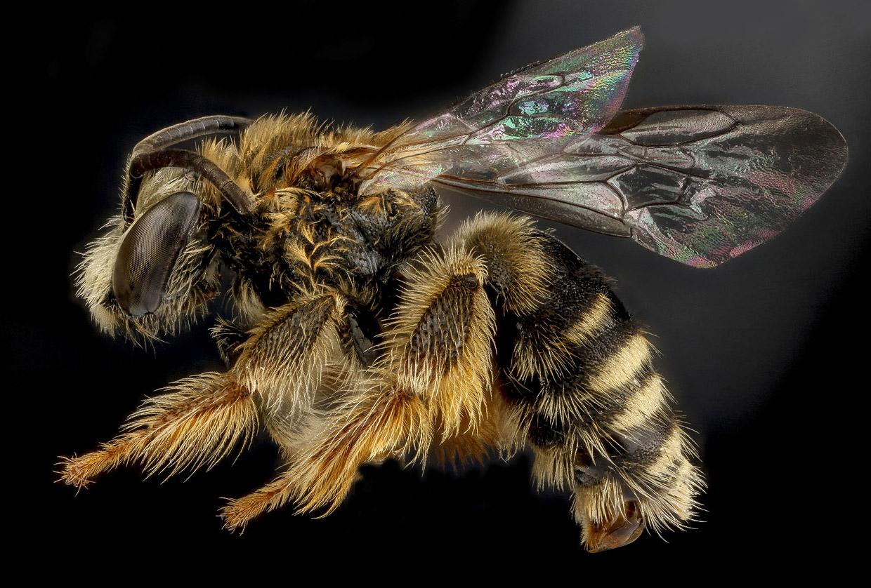 Пчела Exomalopsis analis, Доминиканская Республика