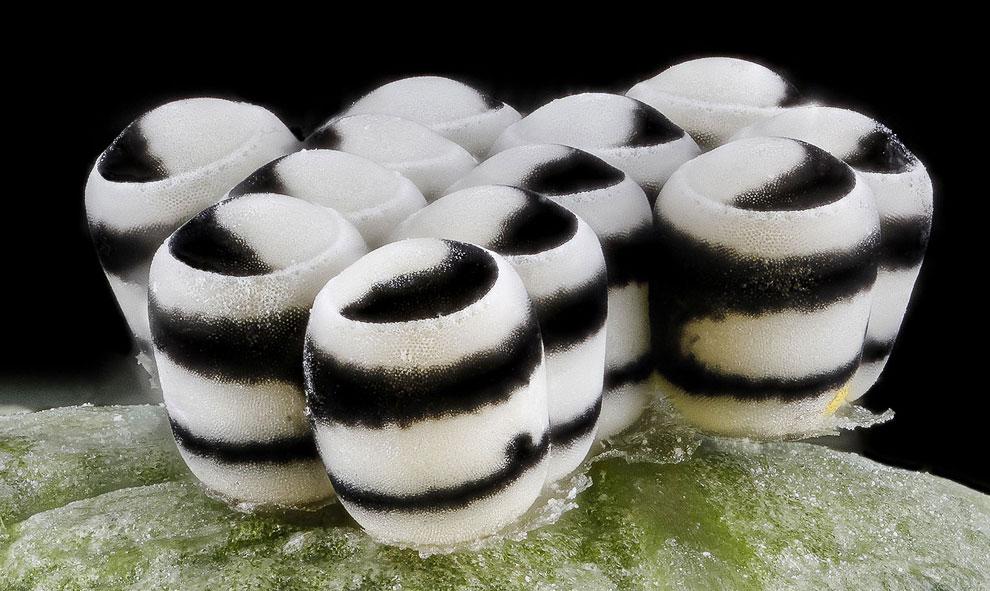 Яйца капустного клопа Murgantia histrionica