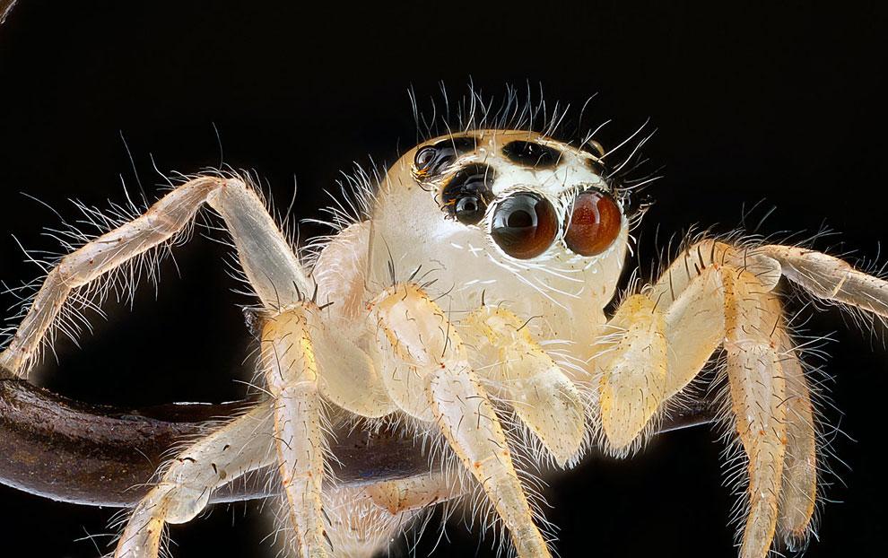 Неопознанный паук-скакун
