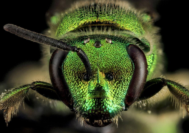 Галиктида Augochloropsis metallica из семейства пчёл отряда Перепончатокрылые насекомые