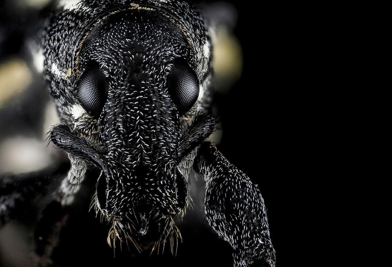 Долгоносики, или слоник (лат. Curculionidae)
