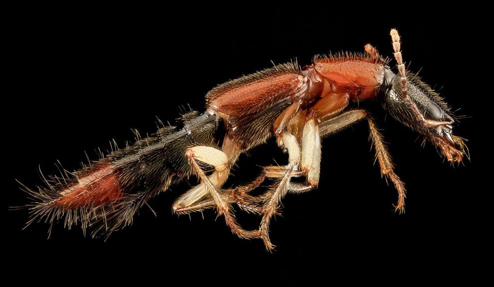 Cтафилиниды, или жуки-хищники (лат. Staphylinidae)
