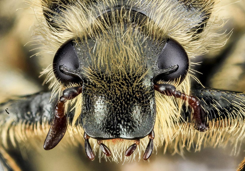 Жук-скарабей Trichiotinus assimilis