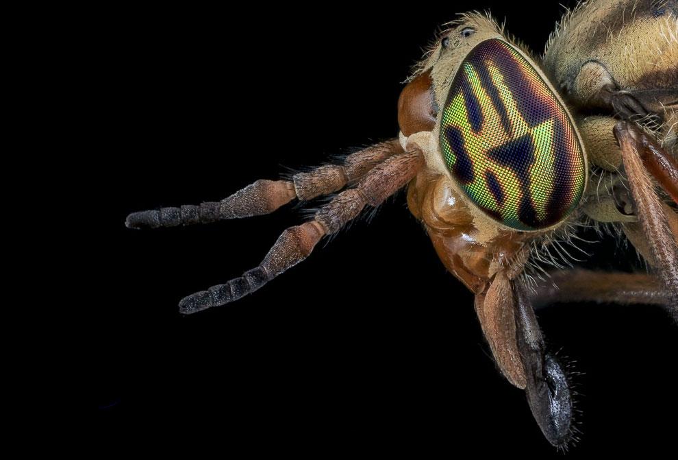 Слепень (лат. Tabanidae) из семейства двукрылых из подотряда короткоусых