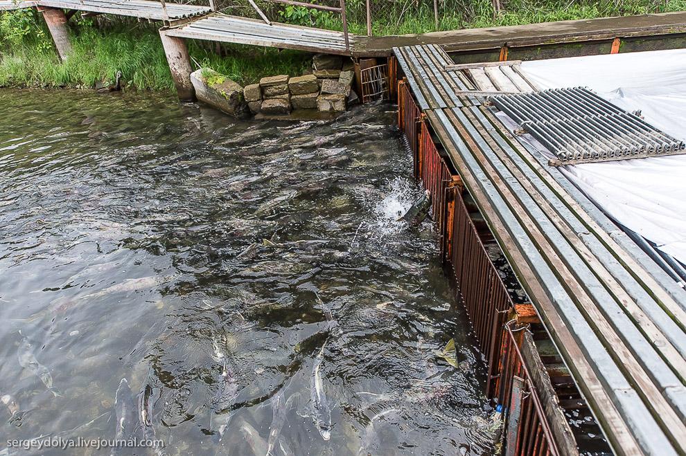 Выращивание лосося на Камчатке