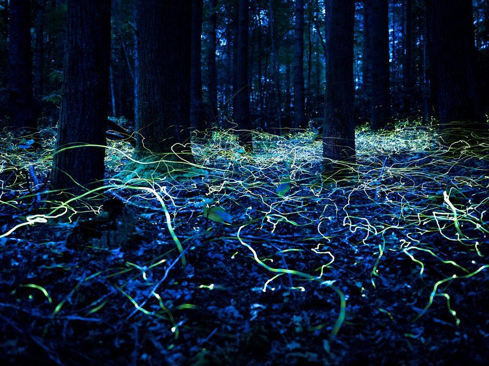 Светлячки в Северной Каролине