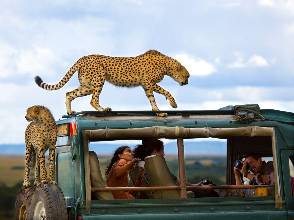 Гепарды и туристы, Кения
