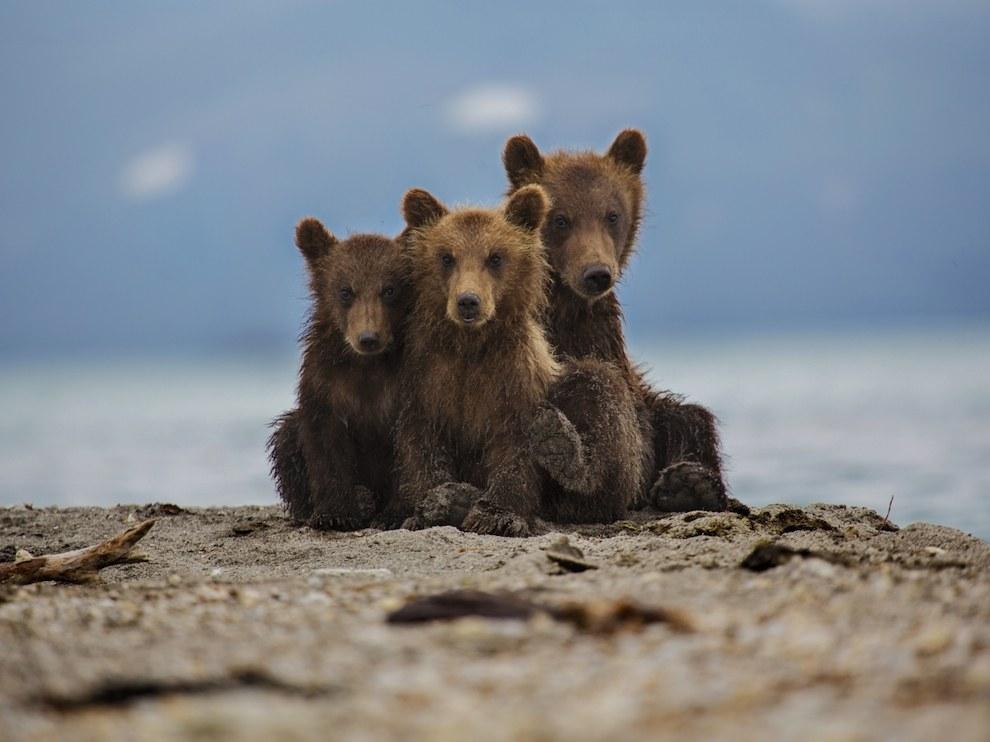 Бурые медведи, Камчатка