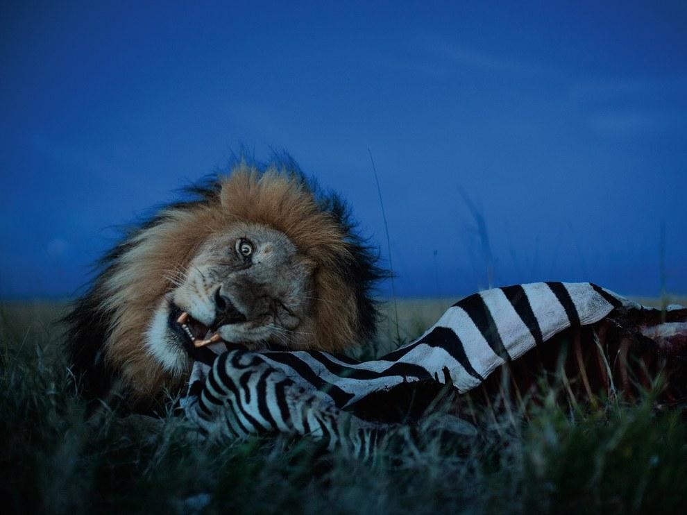 Лев, национальный парк Серенгети
