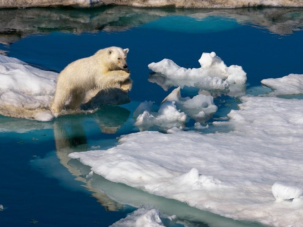Белый медведь, Шпицберген