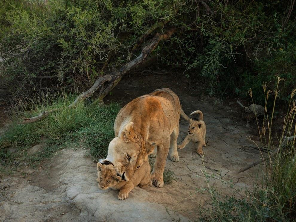 Львица с детенышами, национальный парк Серенгети