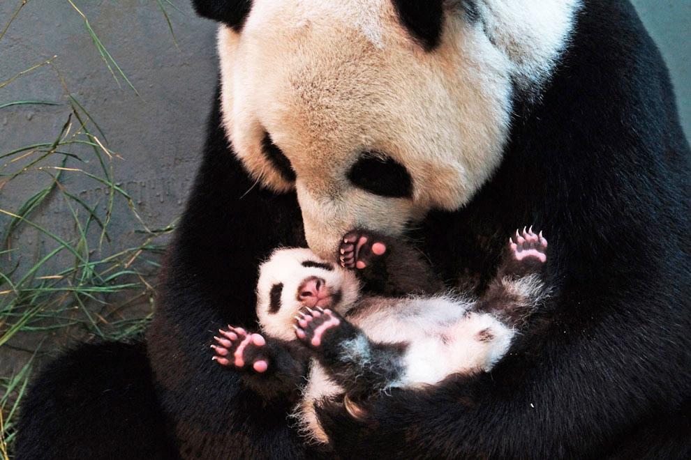 Бамбуковый медведь