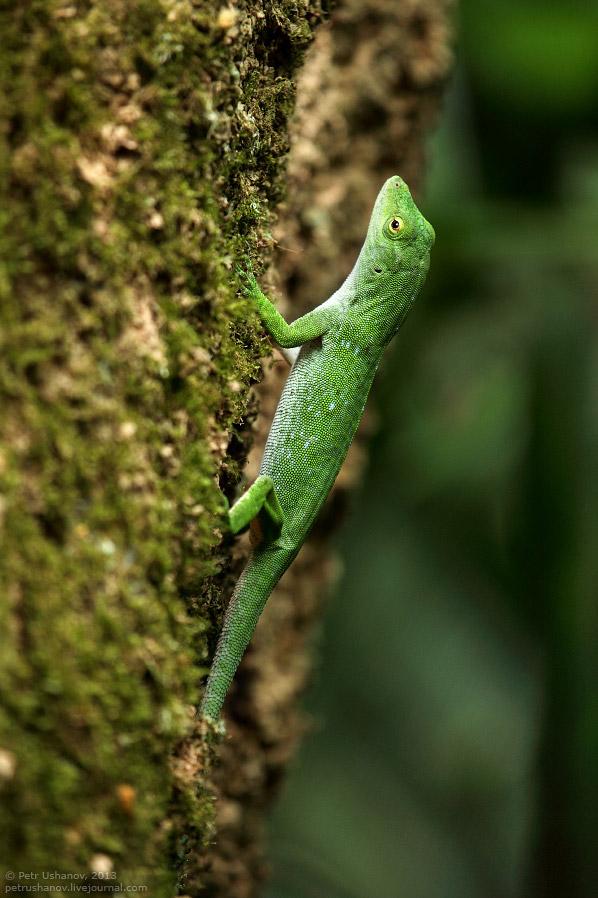 Зеленый древесный анолис