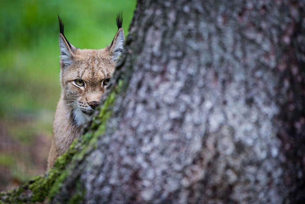 Евразийская рысь в парке дикой природы в Германии