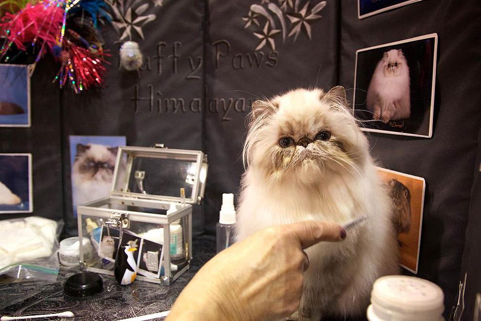 Хозяйка наводит последние штрихи перед тем, как ее гималайская кошка предстанет перед судьями на выставке в Портленде, штат Орегон