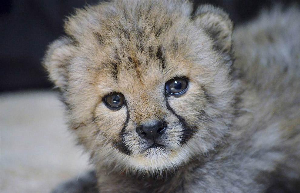 Детеныш гепарда в зоопарке Далласа