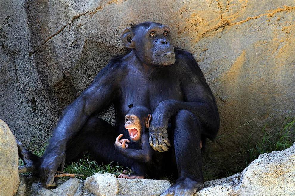 Семья шимпанзе в зоопарке в Лос-Анджелесе