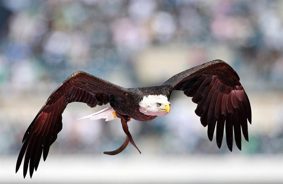 Лысый орел в Филадельфии