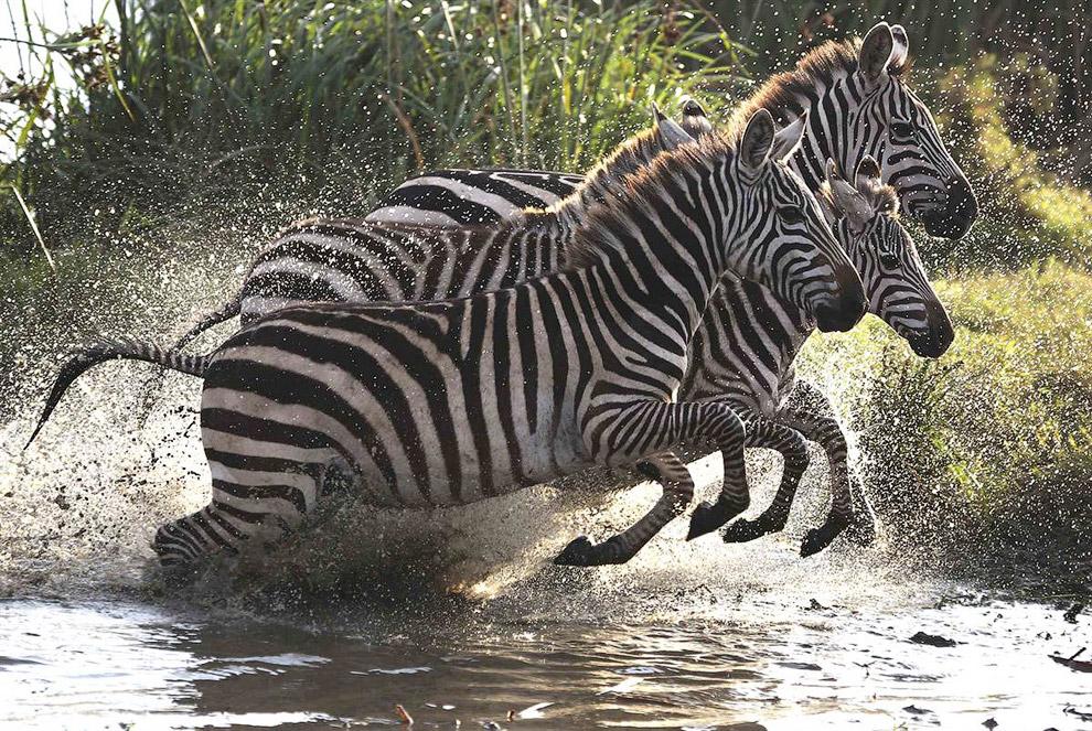 Зебры в Национальном парке в Кении