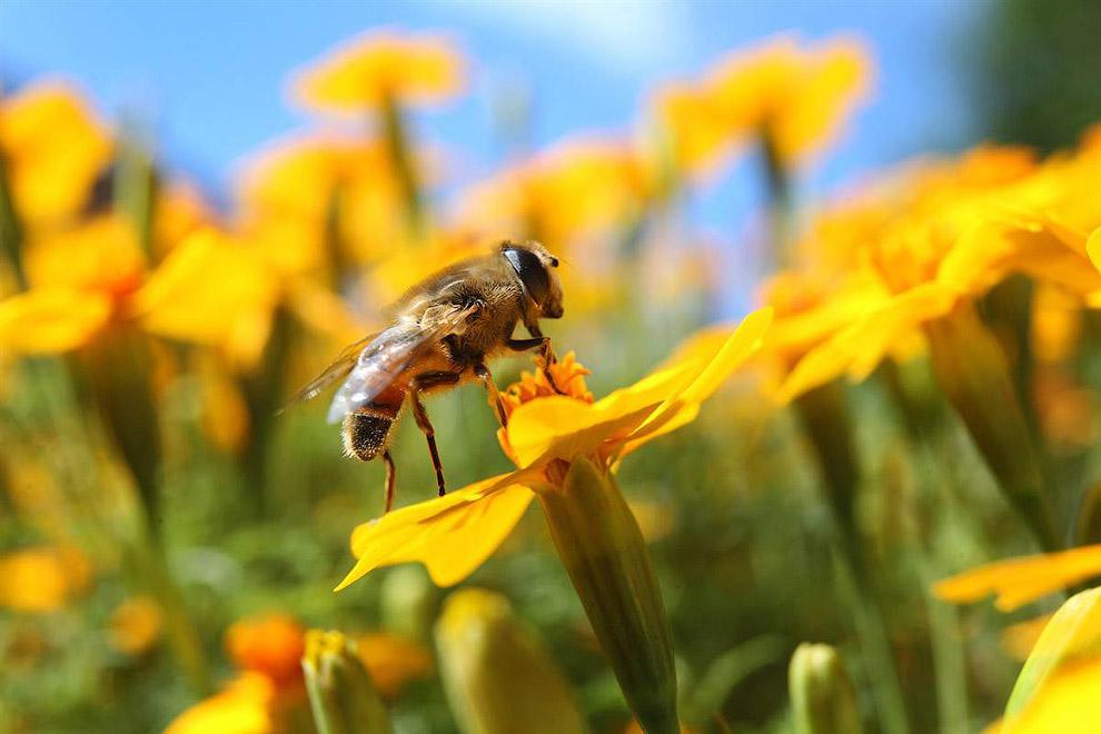 Пчела на цветке календулы, Оберхаузен, Германия