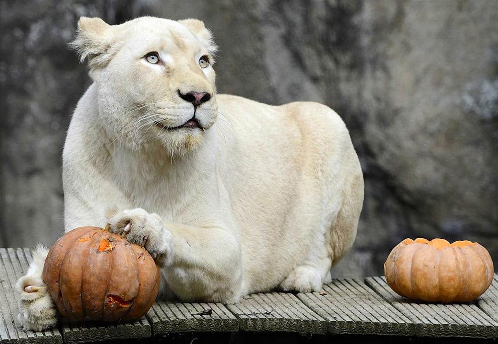 Белый львице в зоосаду в Нидерландах преподнесли подарок