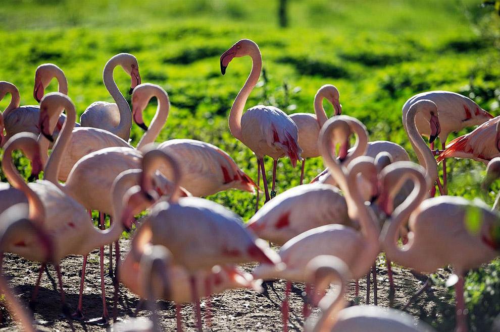 Розовые фламинго в зоопарке в Мюлузе, Франция