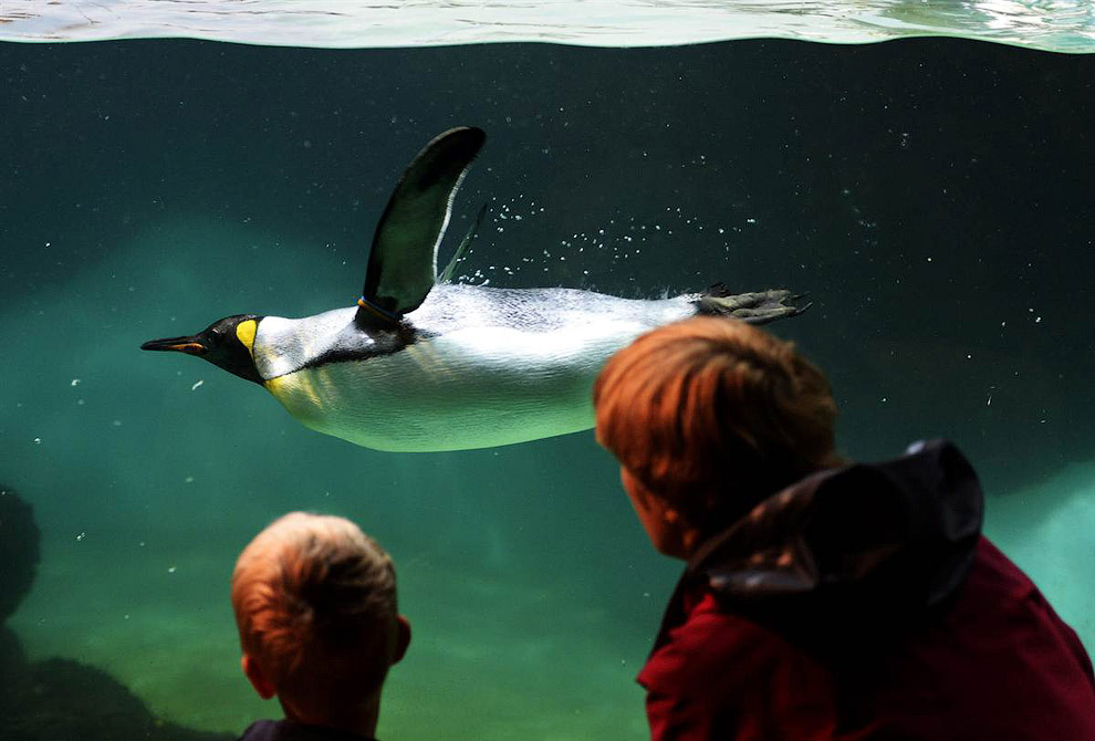 Королевский пингвин в зоопарке Цюриха в Швейцарии