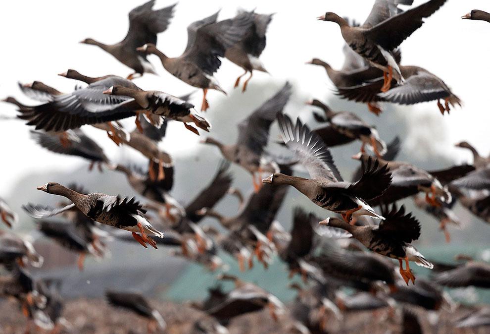 Дикие гуси прилетели из Сибири