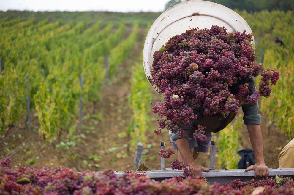 Осень — время сбора урожая винограда во Франции