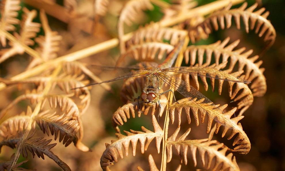 Стрекоза в заповеднике в графстве Дорсет, Англия