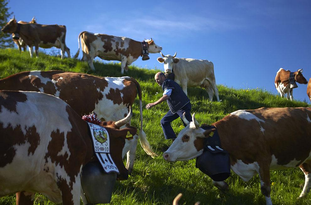 Высокогорные коровы
