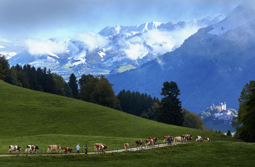 Альпийские пейзажи. Семья Murith возвращается со своими коровами домой
