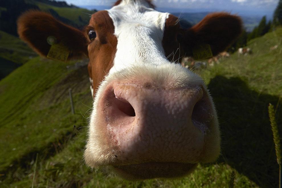 Мы познакомились с швейцарскими сыроделами, узнали, как делают настоящий швейцарский сыр и познакомились с настоящими швейцарскими коровами