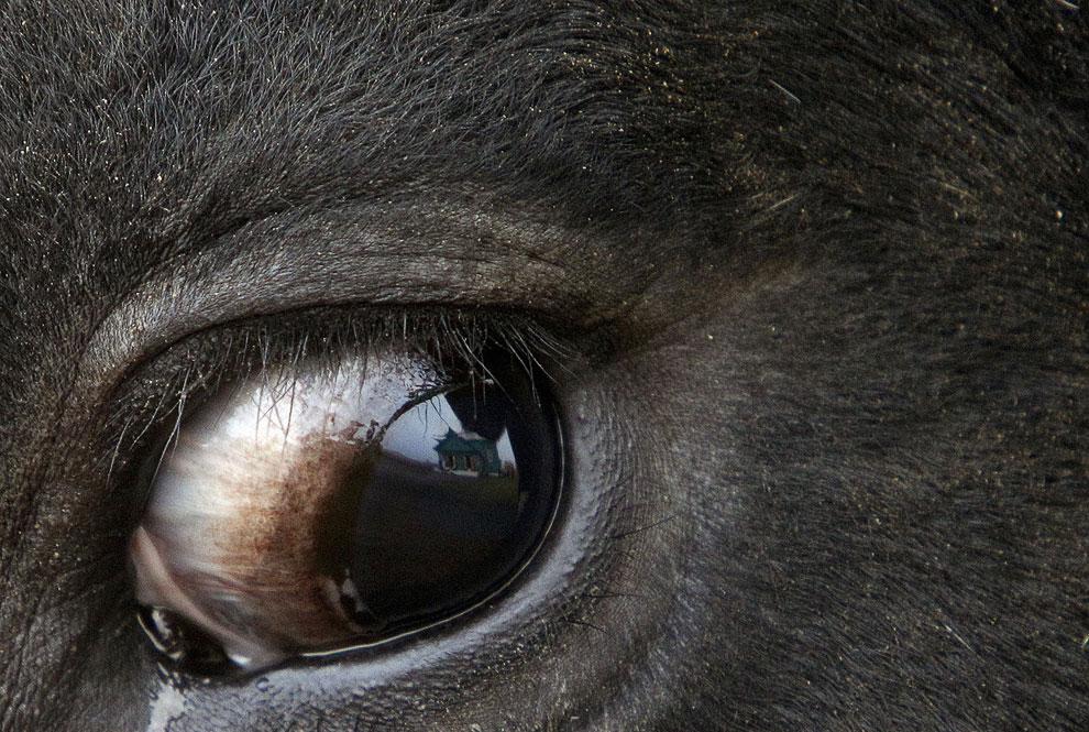 Жертвенные глаза жертвенного бычка, привязанного у мечети в Беларуси