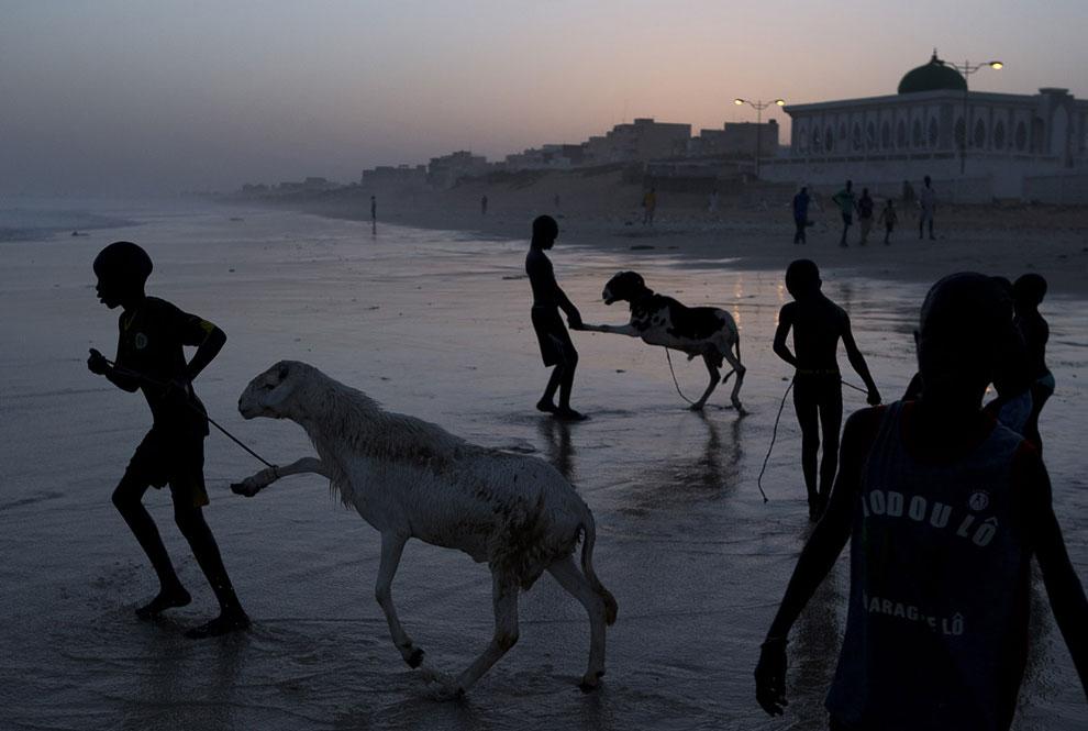 Мальчики ведут жертвенных баранов к Атлантическому океану, чтобы вымыть перед праздником