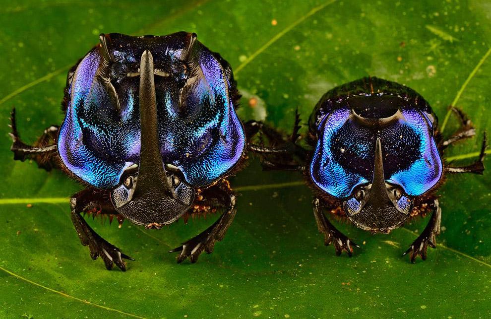 Большие синие жуки Coprophanaeus lancifer