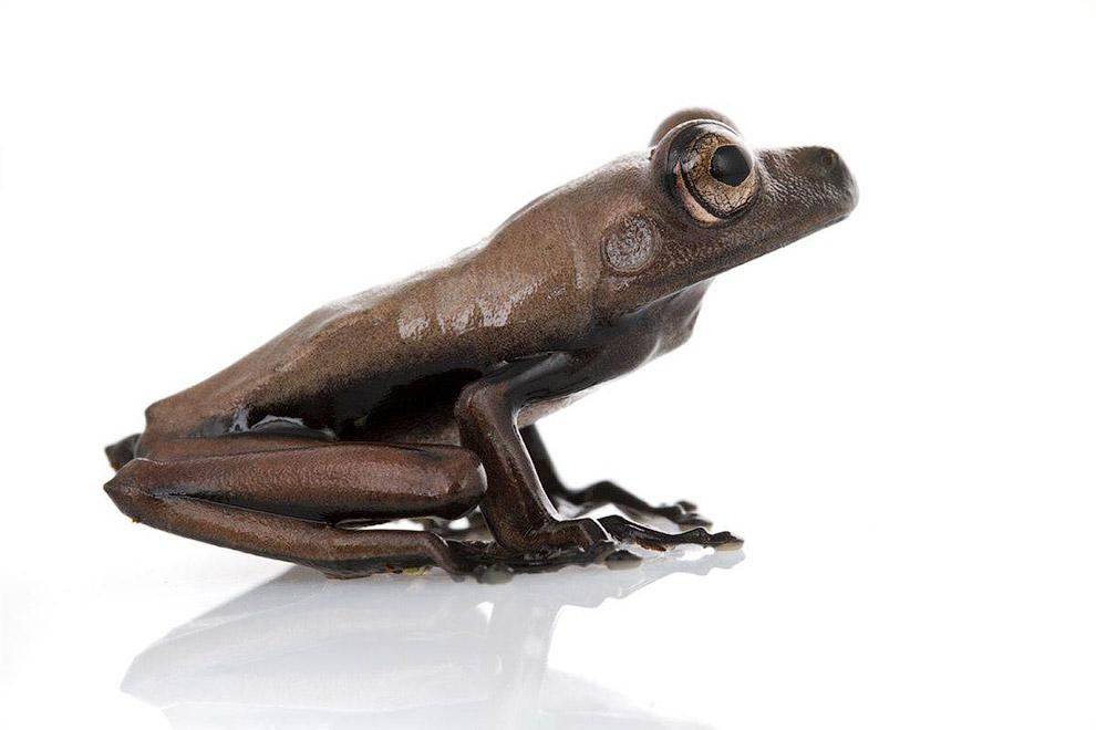Древесная лягушка (Hypsiboas Sp.)