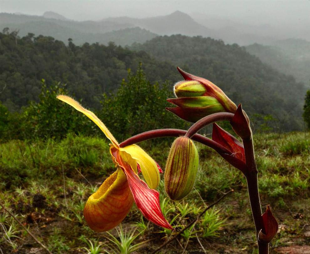 Орхидея (Phragmipedium lindleyanum)