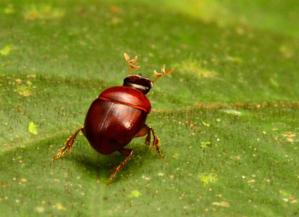 Крошечный жук-лилипут (Canthidium cf. minimum)