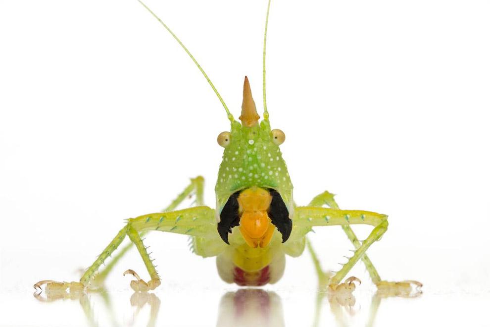 Copiphora longicauda