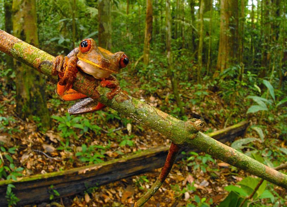 Красивая древесная лягушка (Hypsiboas geographicus)