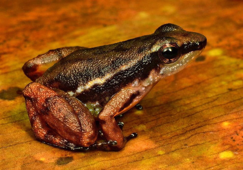 Лягушка-древолаз Anomaloglossus Sp