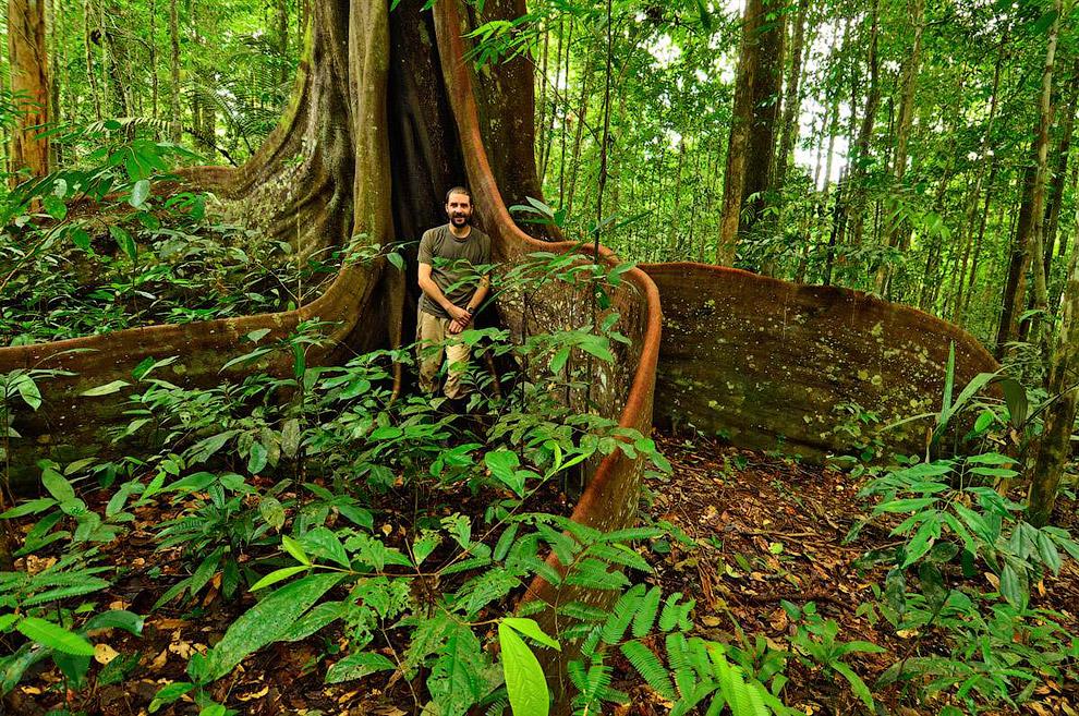 Дерево амарант (Peltogyne venosa)