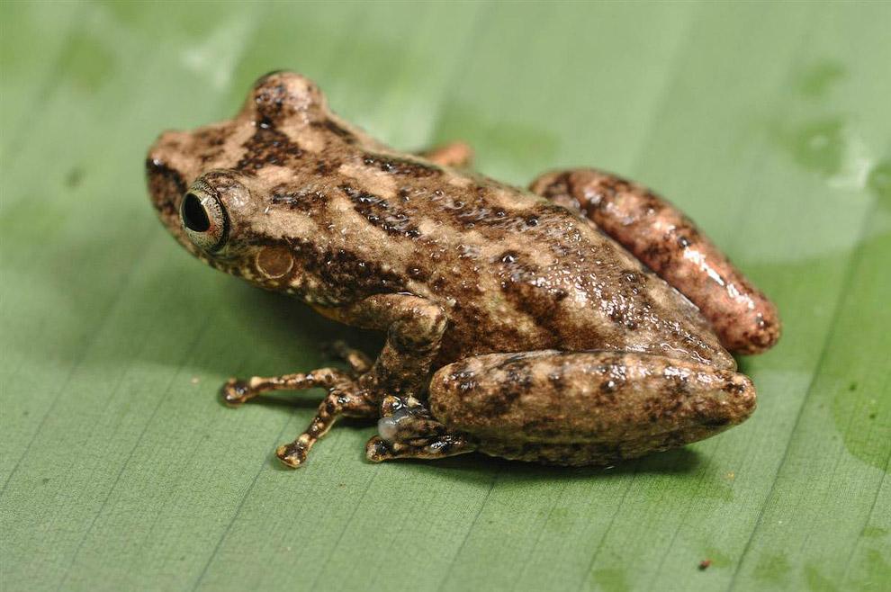 Это квакша — один из шести новых видов лягушек, обнаруженных учеными на Суринаме