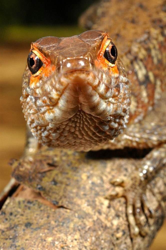 Неустикурус (Neusticurus bicarinatus)