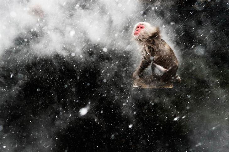 Победитель в категории «Творческий подход» с фотографией Снежной обезьяны во время снегопада в удивительном парке обезьян Дзигокудани, Япония