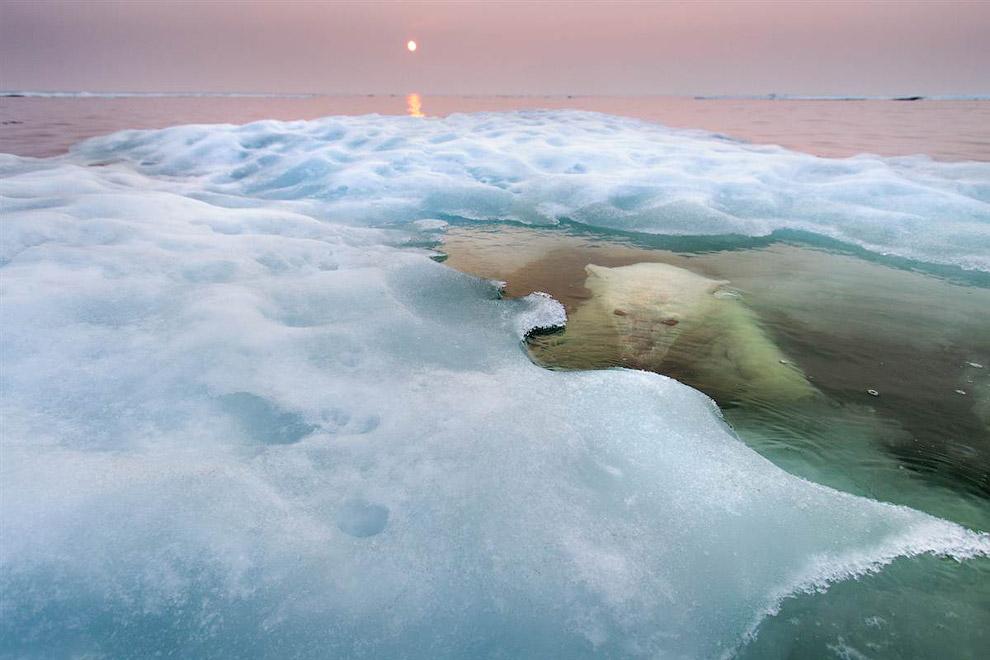 Победитель в категории «Естественная среда обитания». Белый медведь в ледяной воде