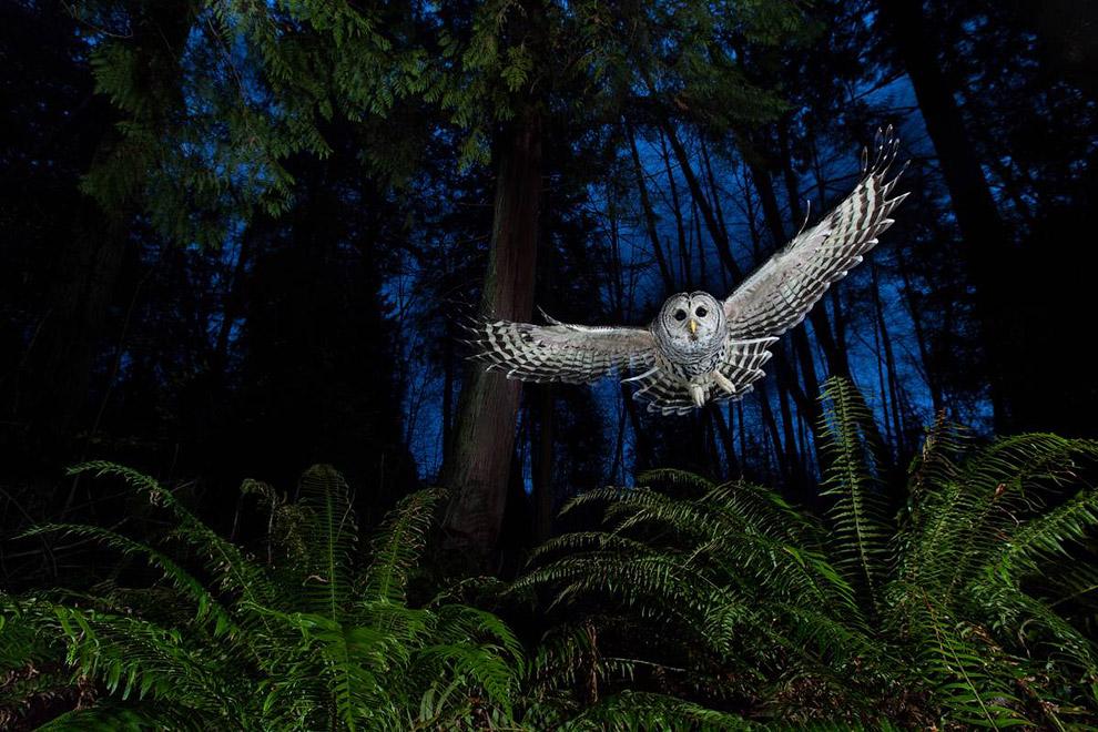 Специальный приз получила эта фотография совы в Британской Колумбии